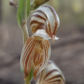 Insect-like labellum