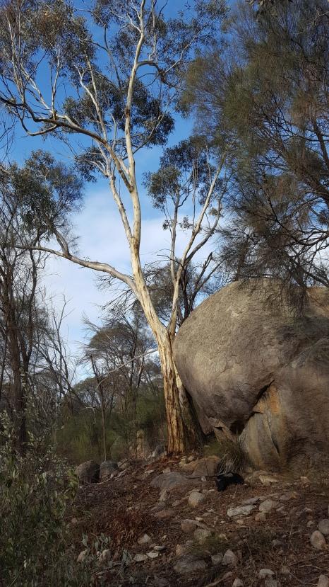 Granite habitat of Dark banded greenhoods