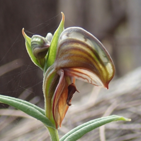 Insect-like labellum flicks up when triggered by pollinator